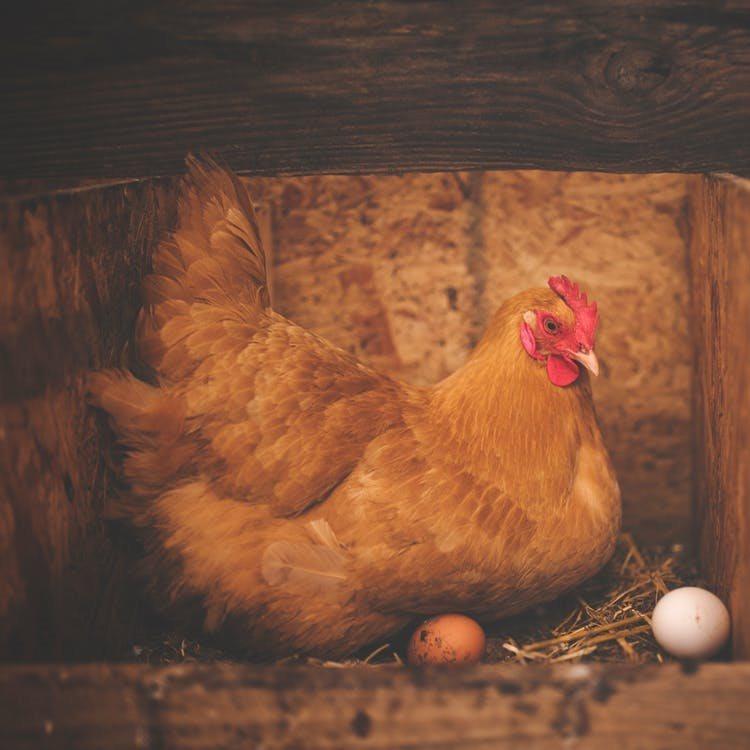 Broedse kip in het legnest
